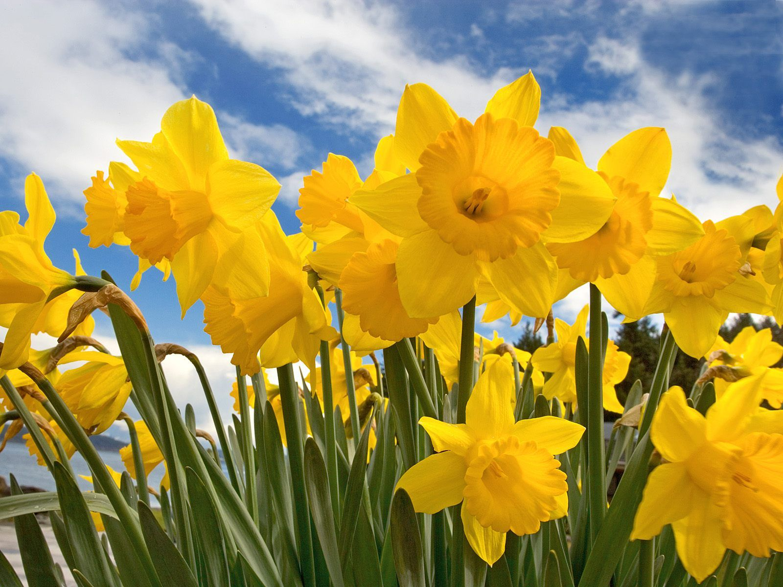 Scenery spring pictures spring pictures daffodils leave a reply cancel reply mightylinksfo